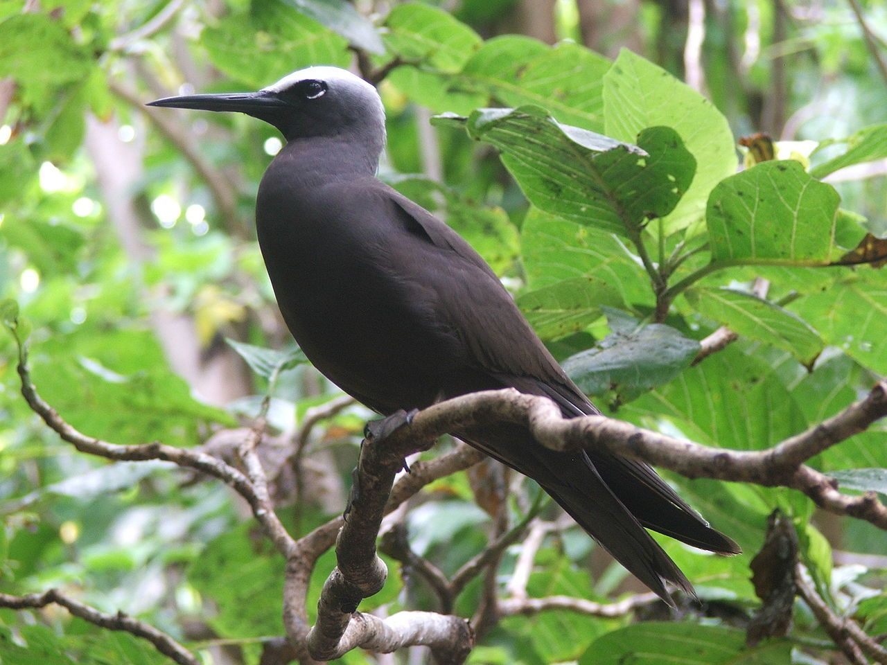 Read in this article some interesting black noddy facts