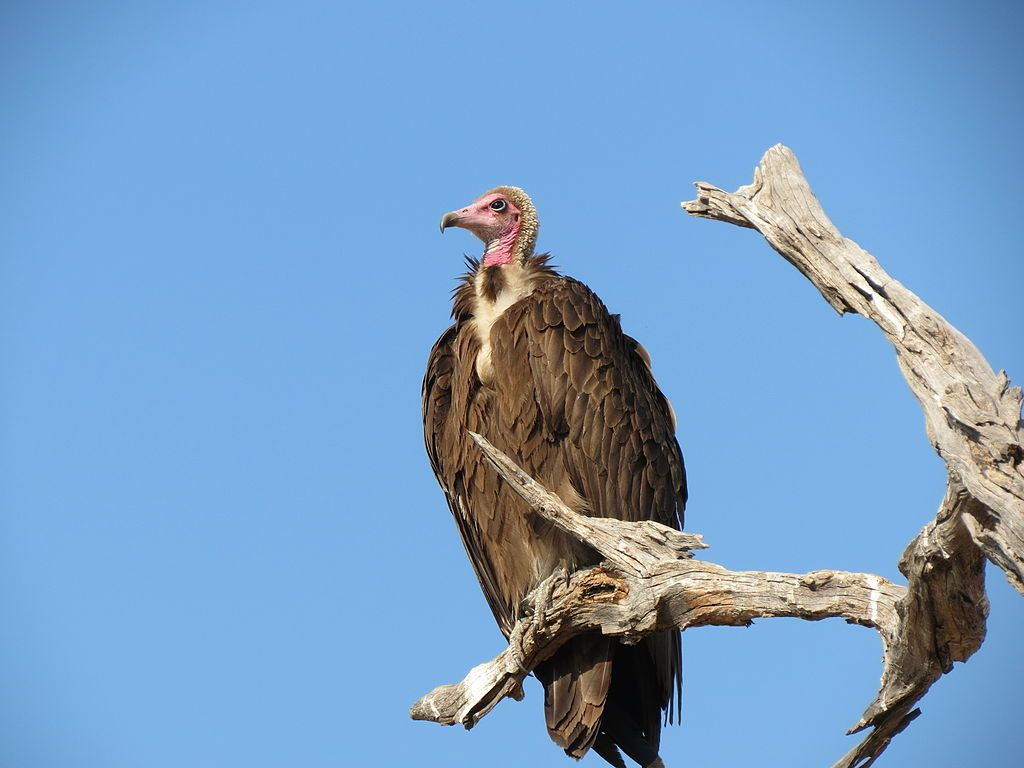 Read some hooded vulture facts which are interesting