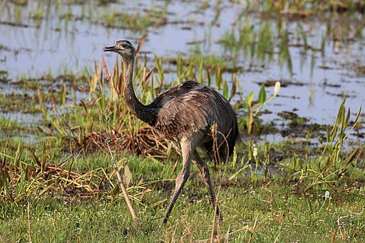 Rhea (bird) facts, such as they are the largest South American bird, are very interesting.