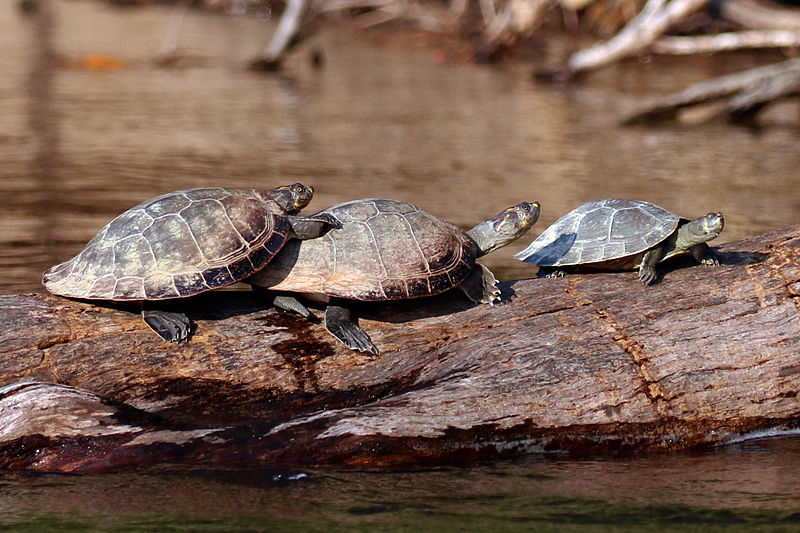 Read these yellow-spotted river turtle facts about the turtle also known as the yellow side-necked turtle.