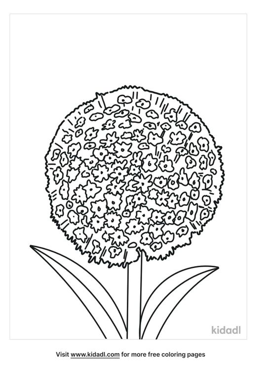 allium-coloring-page.png