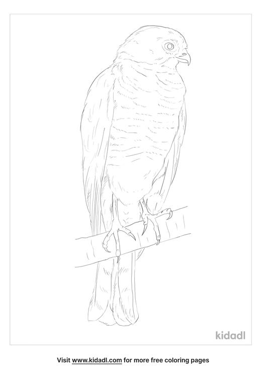 little-sparrowhawk-coloring-page
