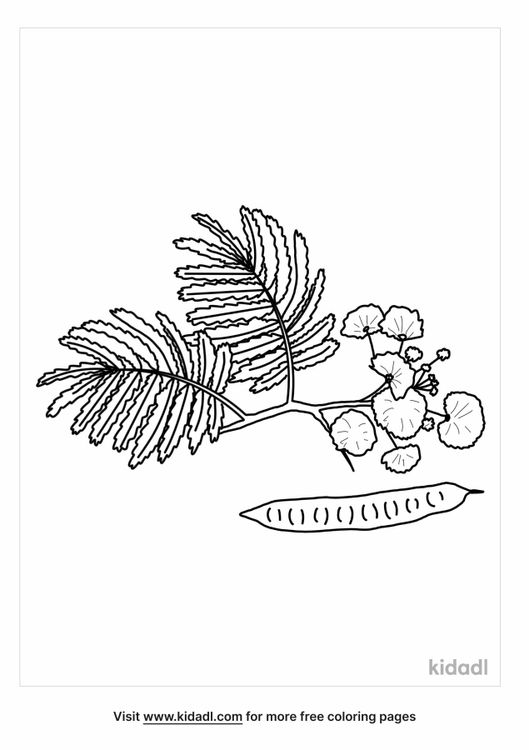 mimosa-tree-coloring-page.png