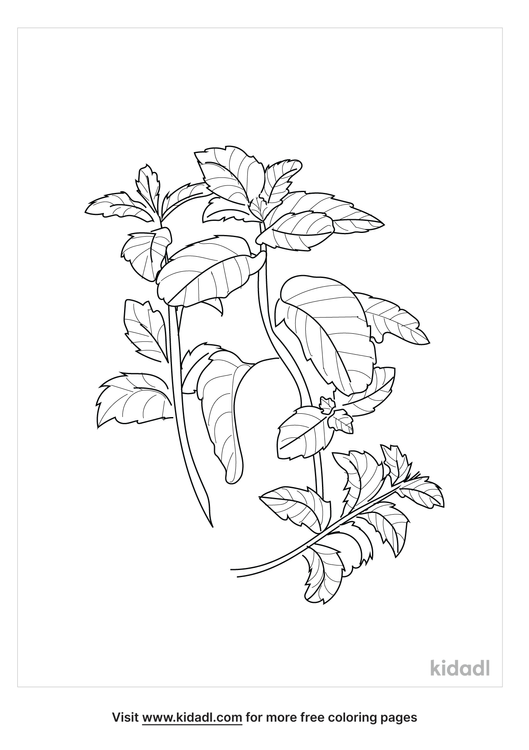 mint-plant-coloring-page.png