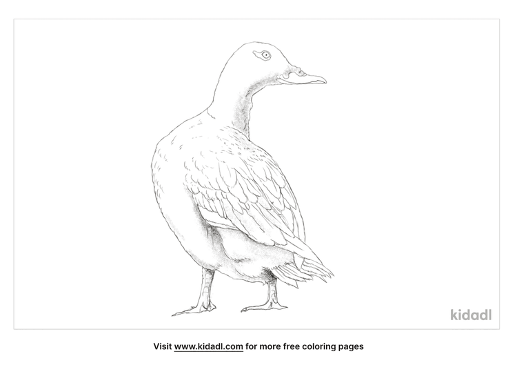 velvet-scoter-coloring-page