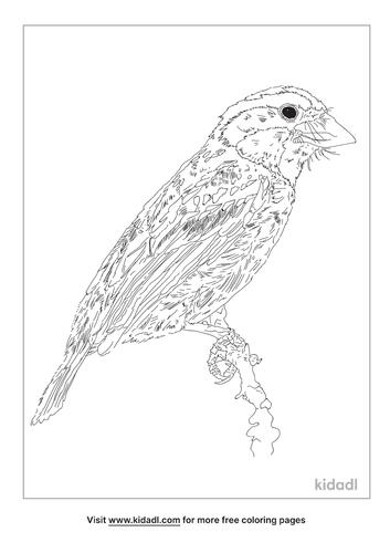 acacia-pied-barbet-coloring-page