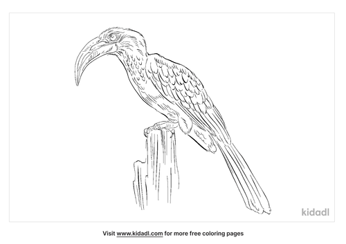 african-grey-hornbill-coloring-page