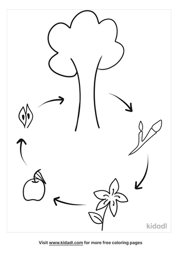 apple-life-cycle-for-preschool-coloring-pages.png