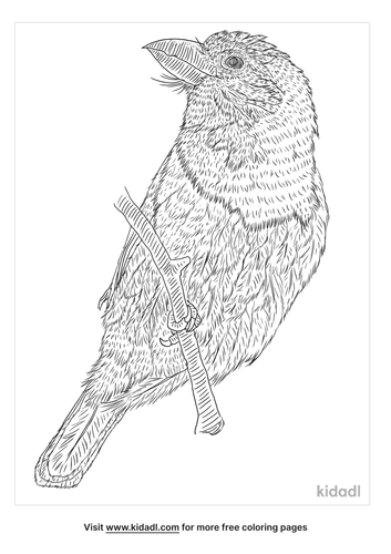 black-collared-barbet-coloring-page