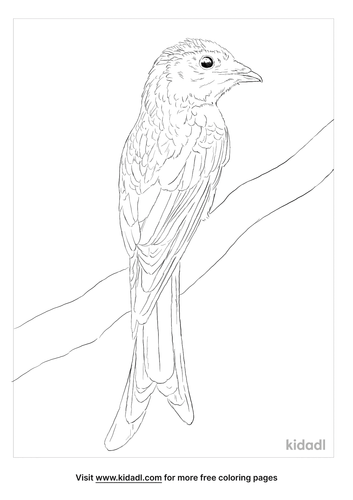 bronzed-drongo-coloring-page