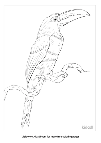 chestnut-eared-aracari-coloring-page