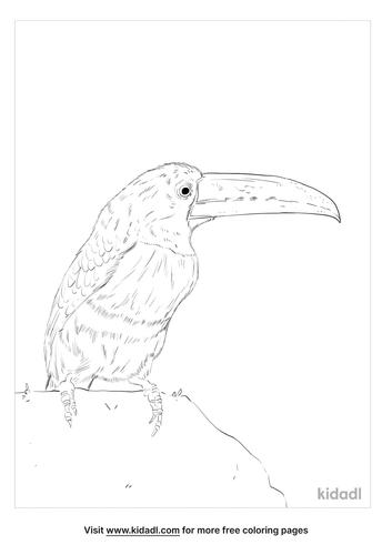 collared-aracari-coloring-page