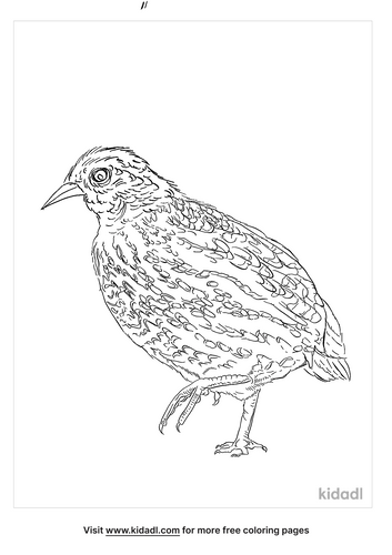 common-buttonquail-coloring-page