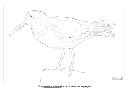 eurasian-oystercatcher-coloring-page