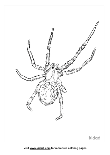 false-widow-spider-coloring-page