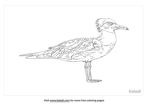 greater-crested-tern-coloring-page