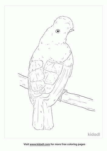 guianan-cock-of-the-rock-coloring-page