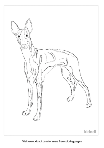 ibizian-hound-coloring-page