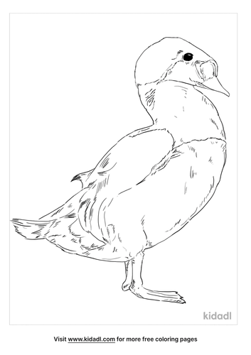 king-eider-coloring-page
