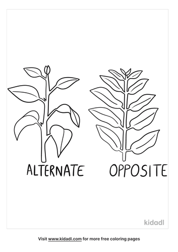 leaf-arrangement-alternate-and-opposite-to-print-coloring-page.png