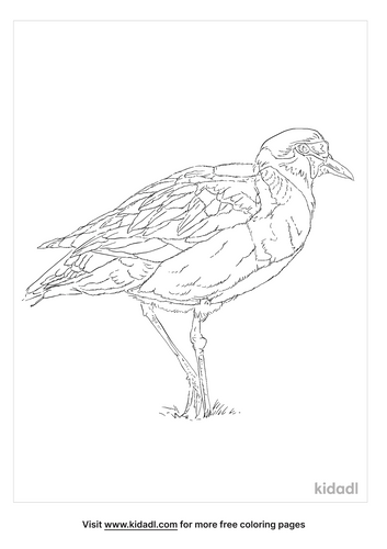 masked-lapwing-coloring-page