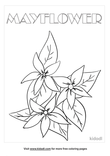 massachusetts state flower coloring page_lg.png