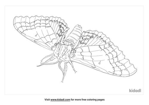 modest-sphinx-moth-coloring-page