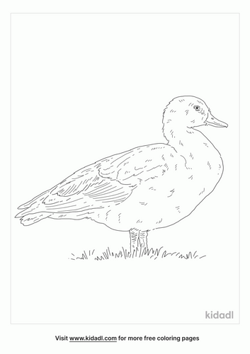 paradise-shelduck-coloring-page