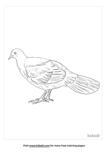 pheasant-pigeon-coloring-pages