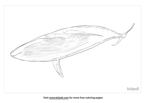 pygmy-beaked-whale-coloring-page