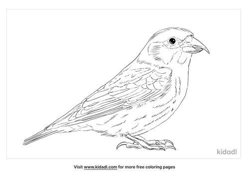 red-crossbill-coloring-page