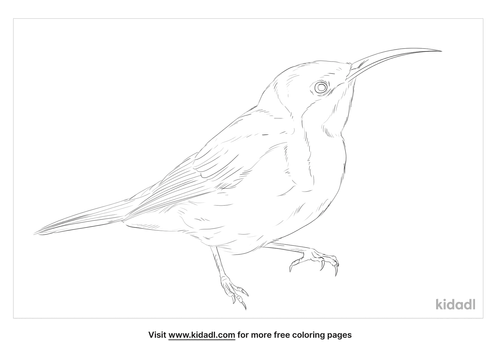 spinebill-coloring-page