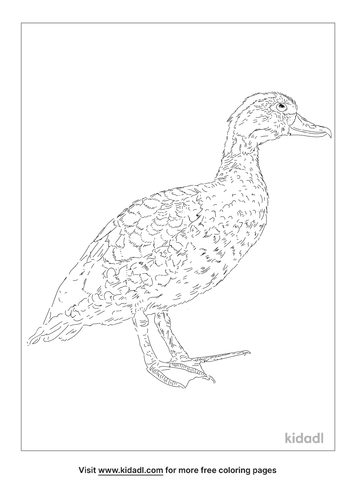 spotted-whistling-duck-coloring-page