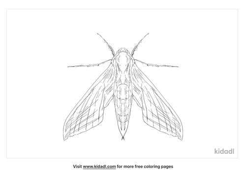 tersa-sphinx-moth-coloring-page