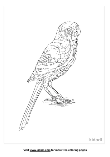 western-rosella-coloring-page