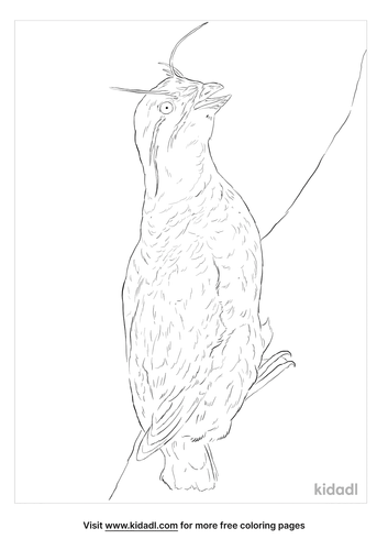 whiskered-auklet-coloring-page