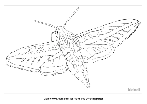 white-lined-sphinx-moth-coloring-page