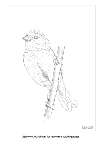 yellow-breasted-bunting-coloring-page